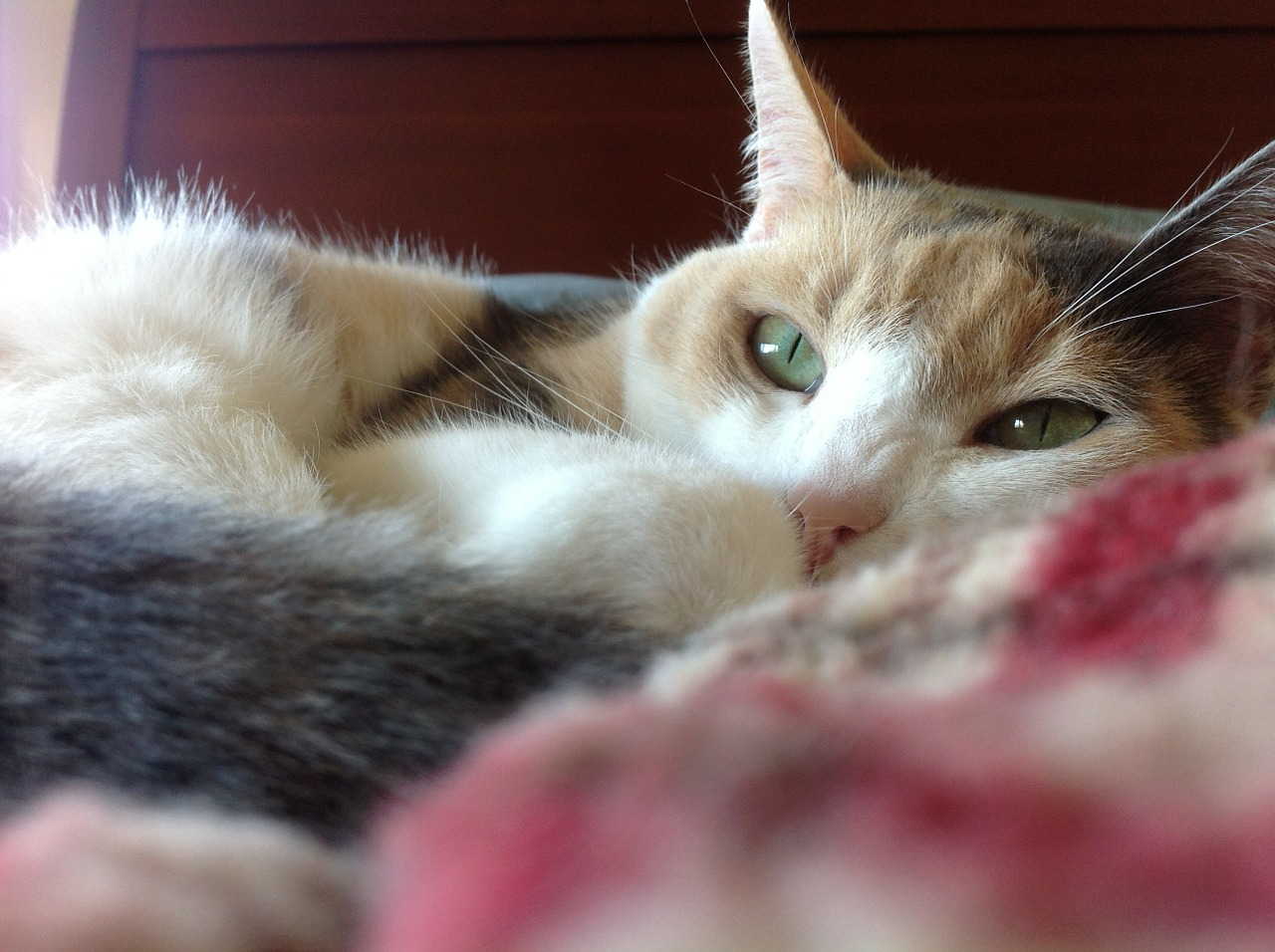 cat calico resting cat free photo