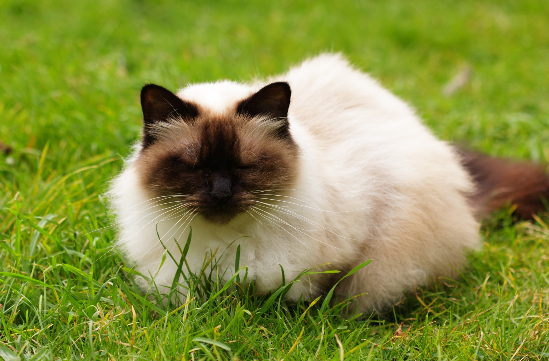 himalayan pet cat in India