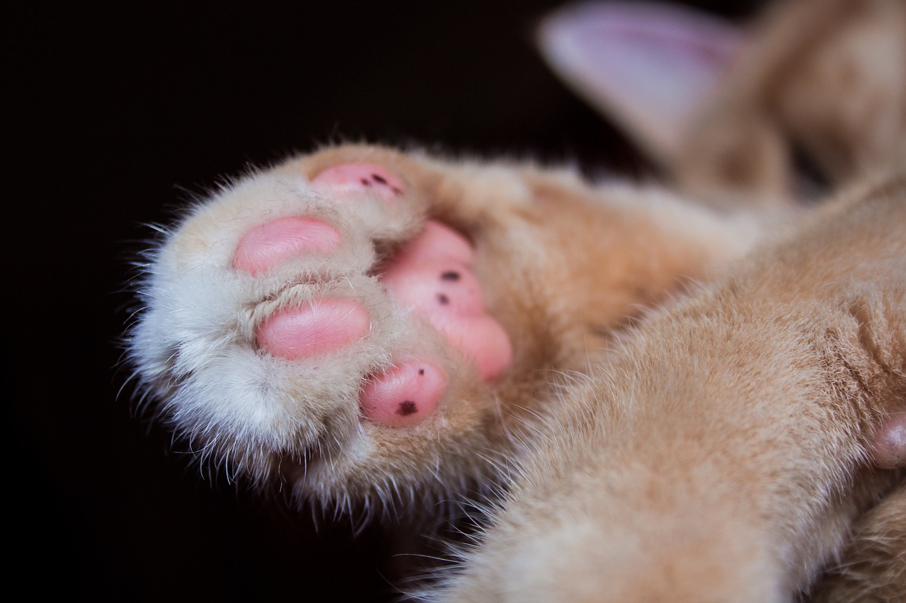 cat paw pet free photo