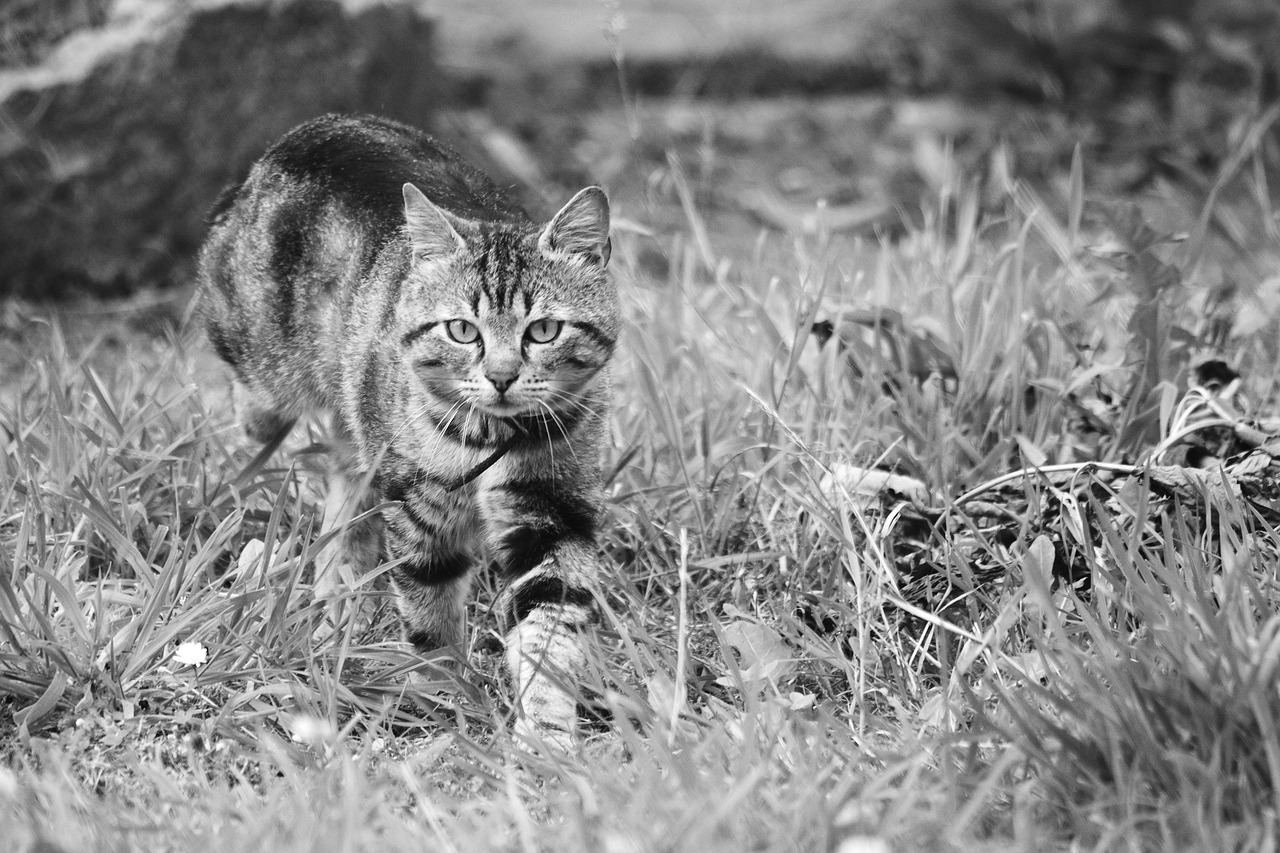 cat feline tabby cat free photo