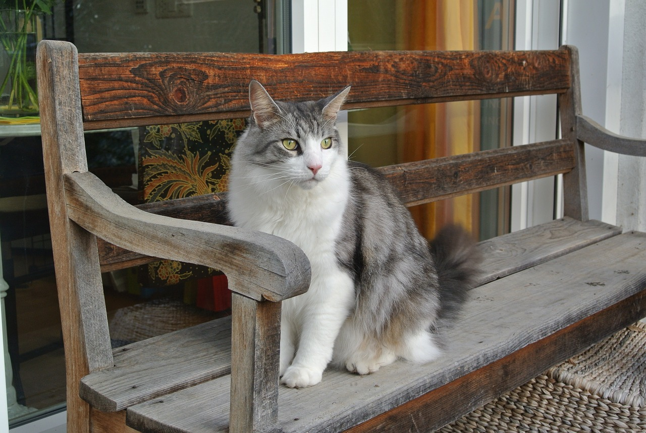 cat mainecoon bank free photo
