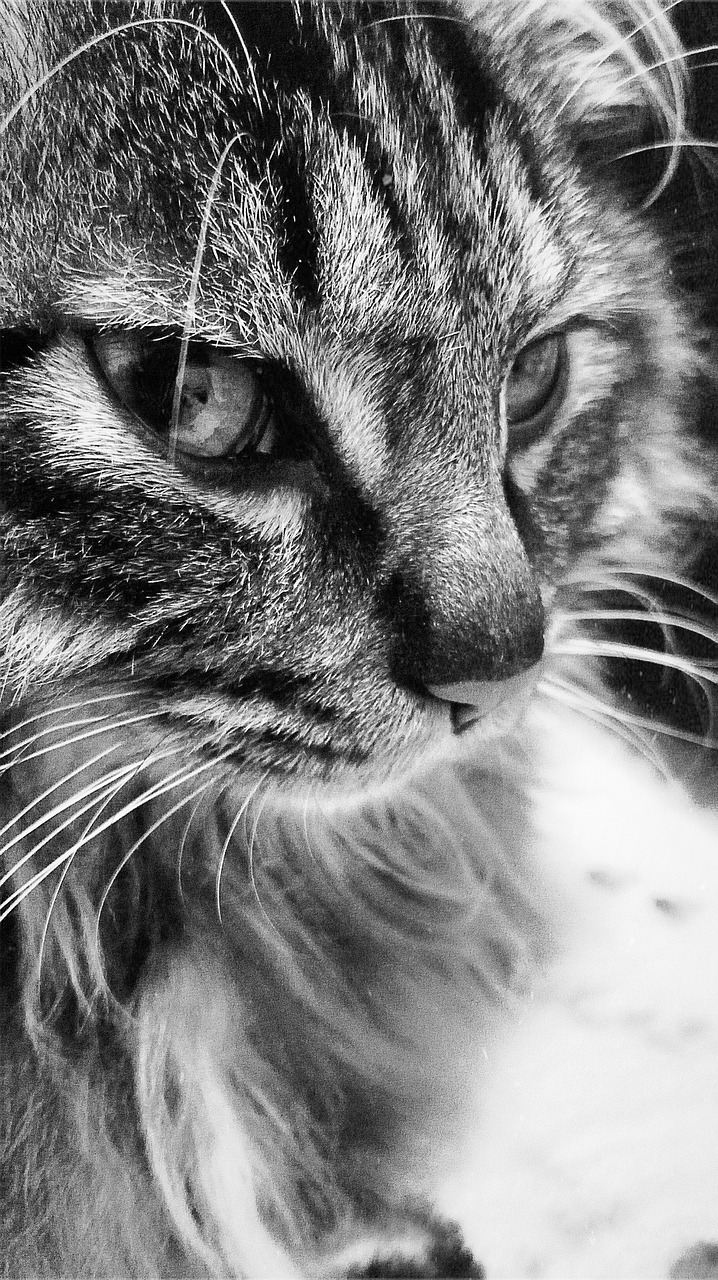 cat black and white mobile free picture