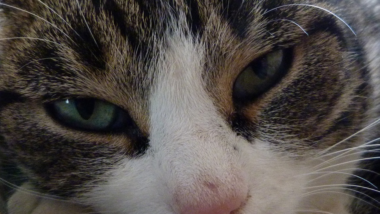 cat animals eyes free photo