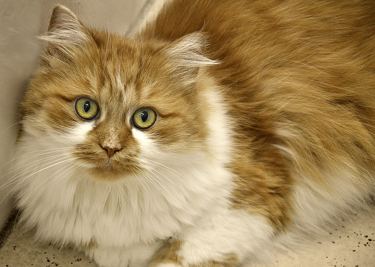 cat long haired domestic cat free photo