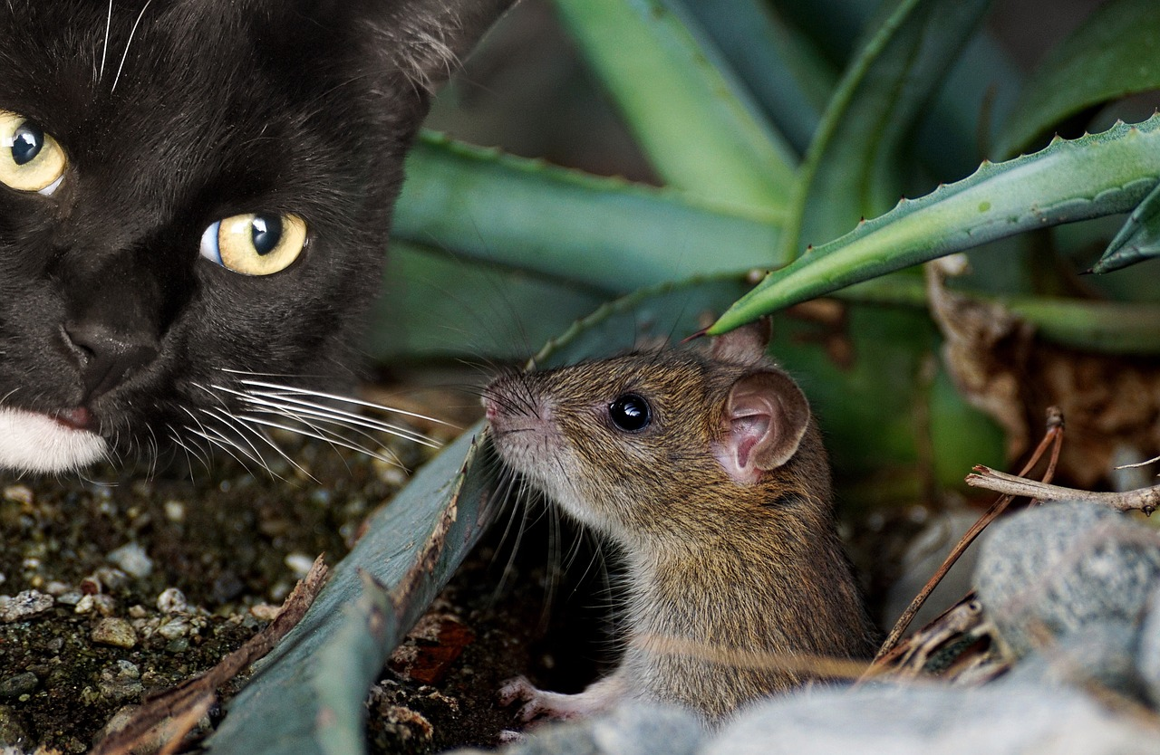 cat mouse animal free photo