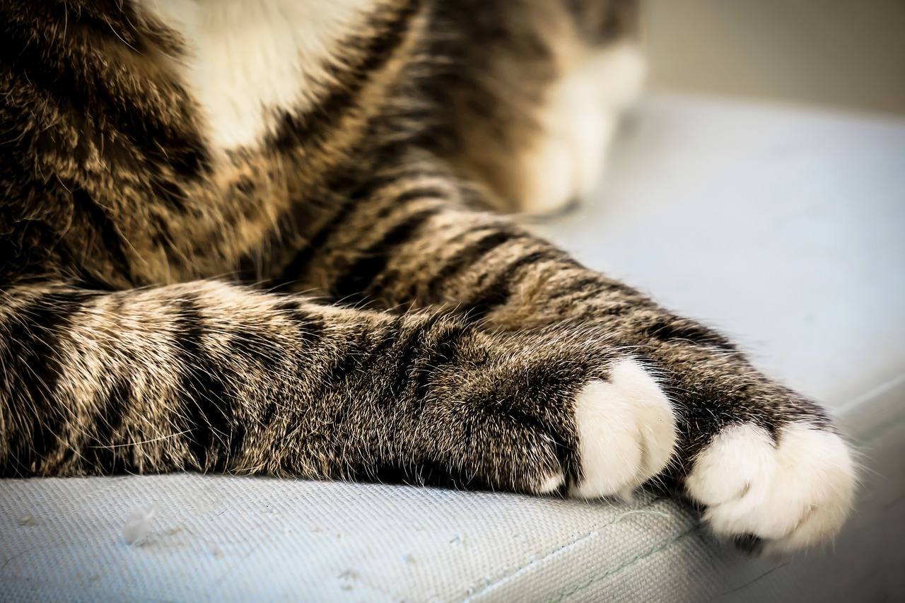 cat, paws, cat's paw, cat paw, paw, break, concerns, relax, rest, domestic cat, mackerel, leg, fur,free pictures, free photos, free images, royalty free, free illustrations, public domain