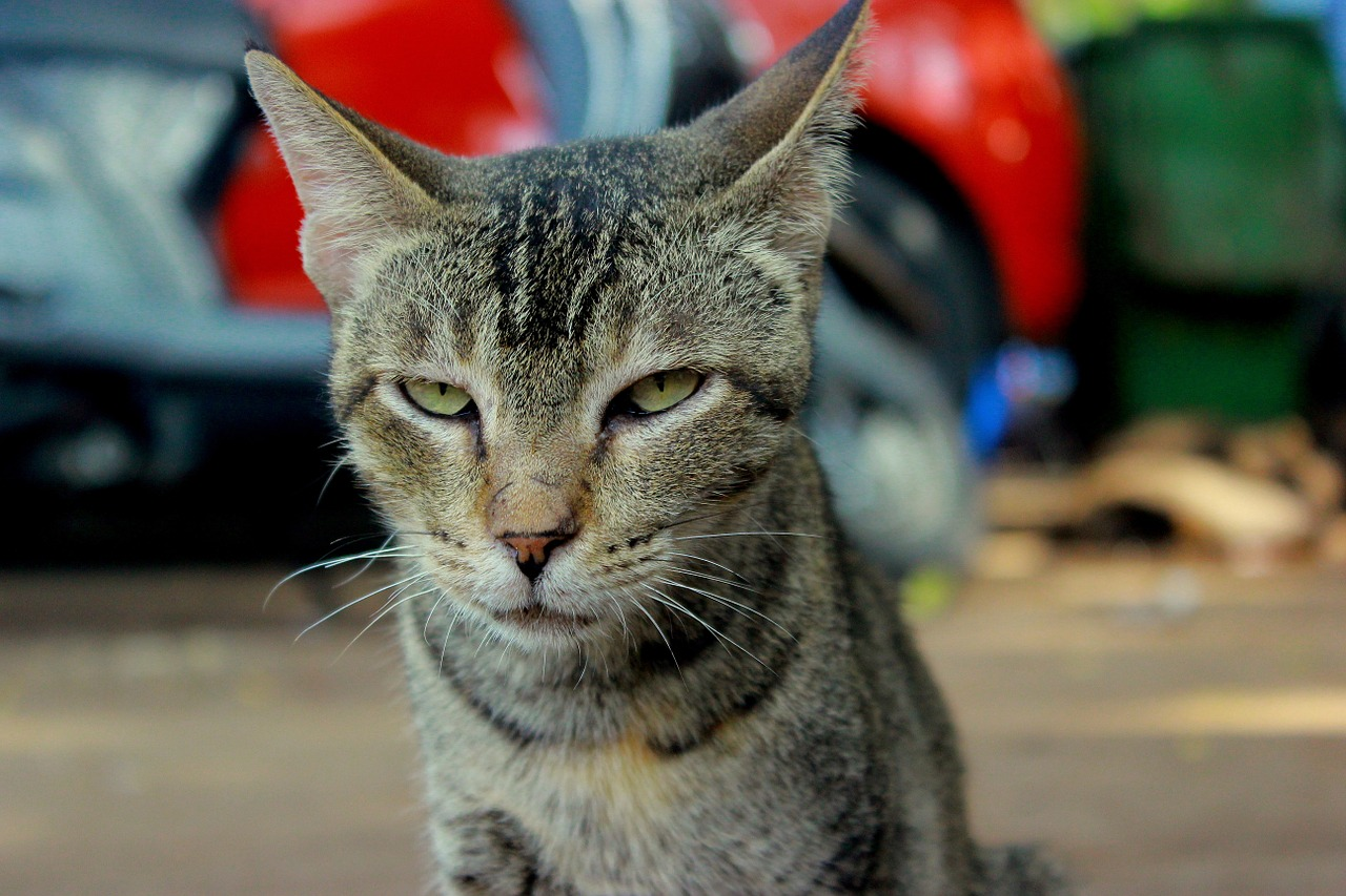 cat angry face free photo