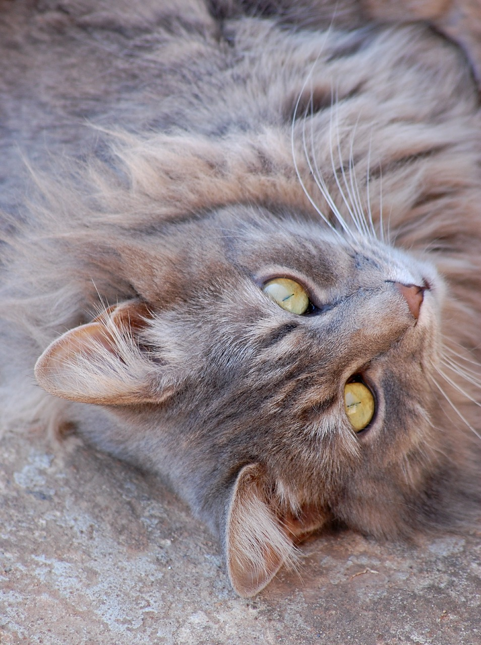 cat,animal,eyes,grey,close up,pet,furry,free pictures, free photos, free images, royalty free, free illustrations