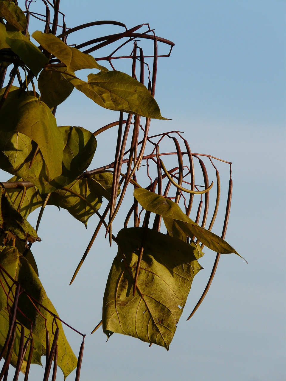 catalpa pods light green free photo