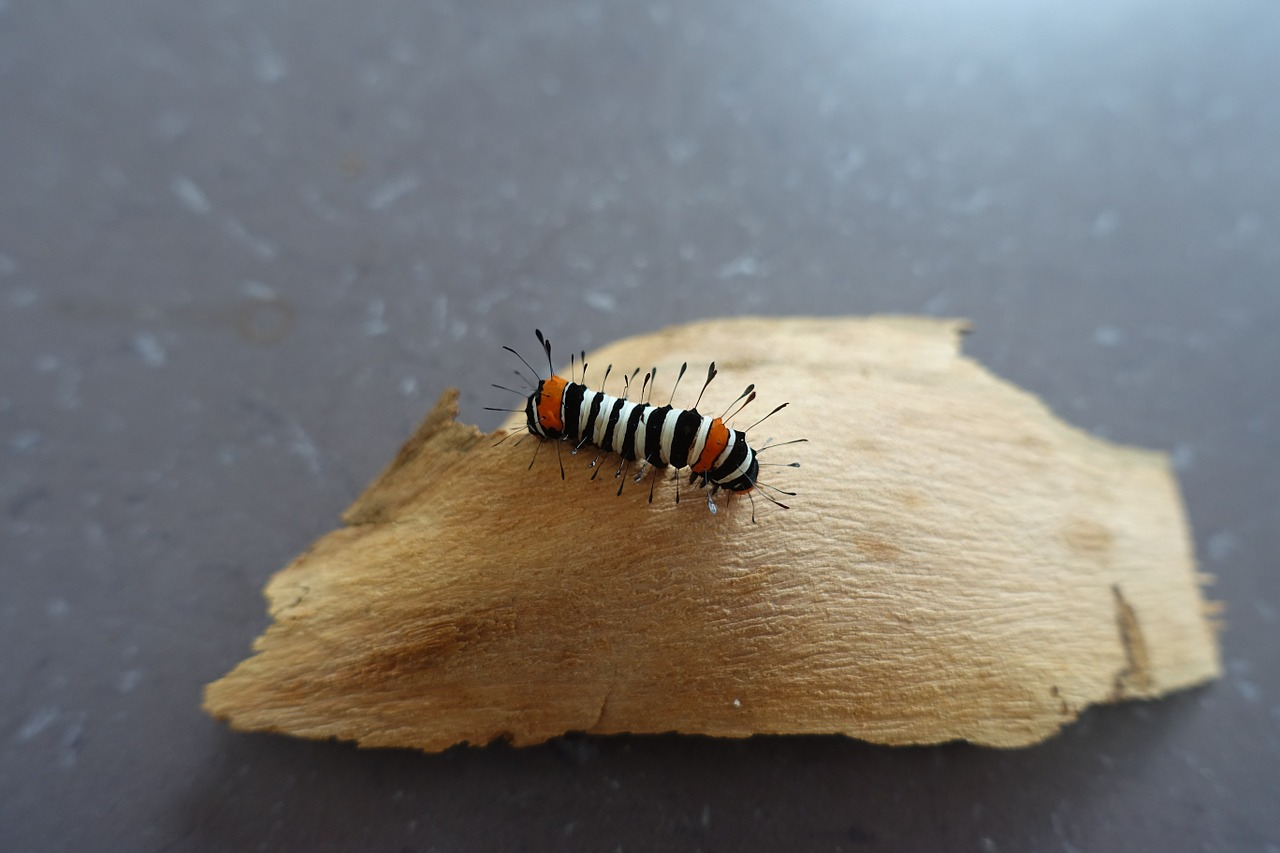 caterpillar larvae colourful free photo