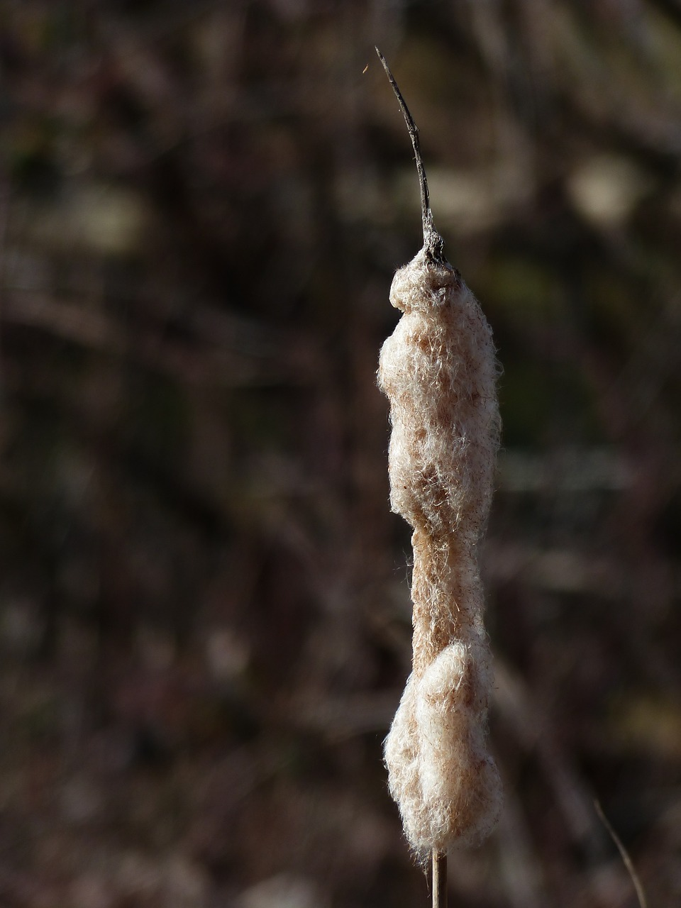cattail reeds flying seeds free photo