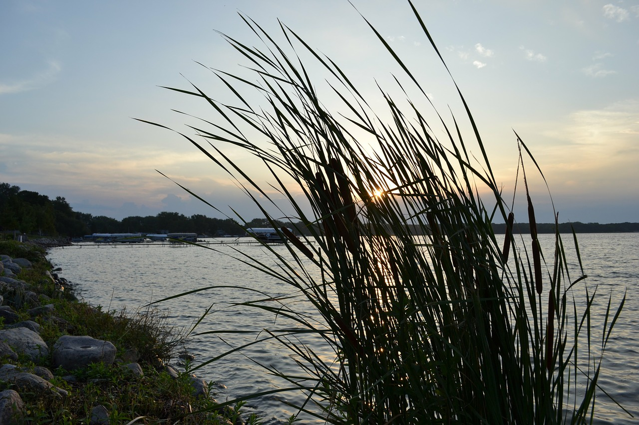 cattails weeds waterside free photo