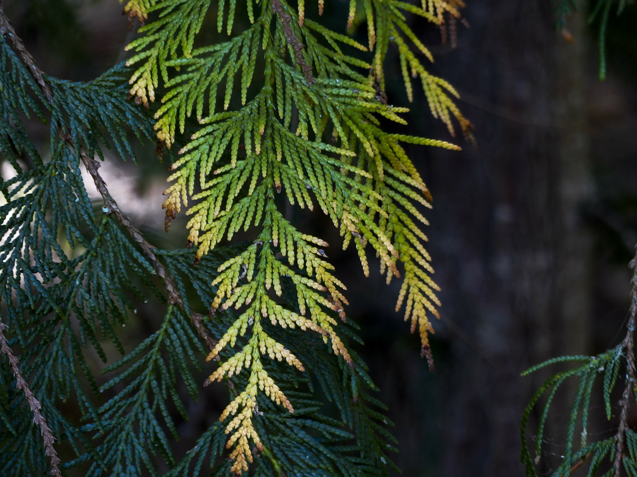 cedar leaves close-up free photo
