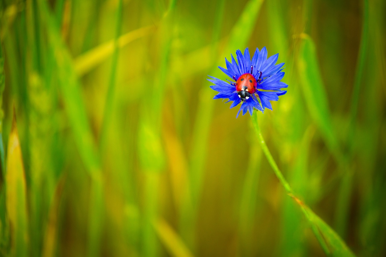 centaurea blue blue flower free photo