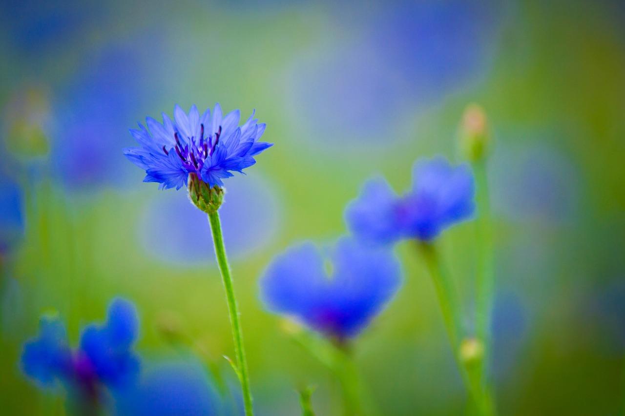 Centaureablue Flowerfield Plantflowersbright Free Photo From