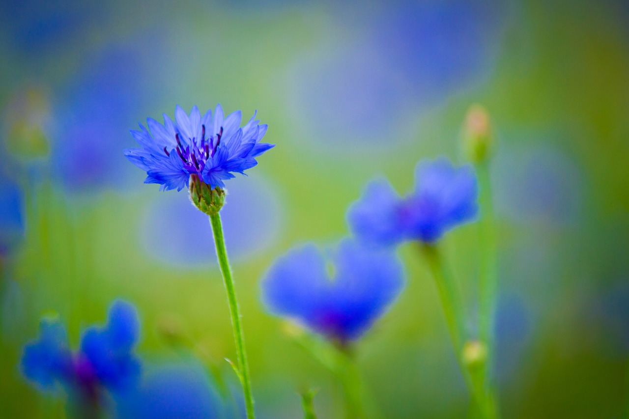 centaurea blue flower field plant flowers bright free photo from