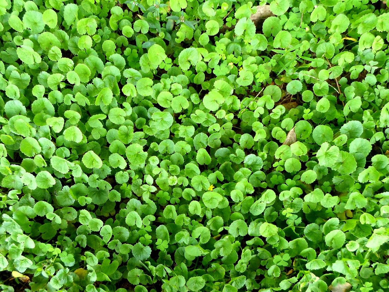 centella,asiatic pennywort,indian pennywort,herbs,herbal,plants,leaves,greenery,leafy,greens,edible,healthy,medicine,natural,nature,flora,tiny,small,bright,colorful,free pictures, free photos, free images, royalty free, free illustrations, public domain