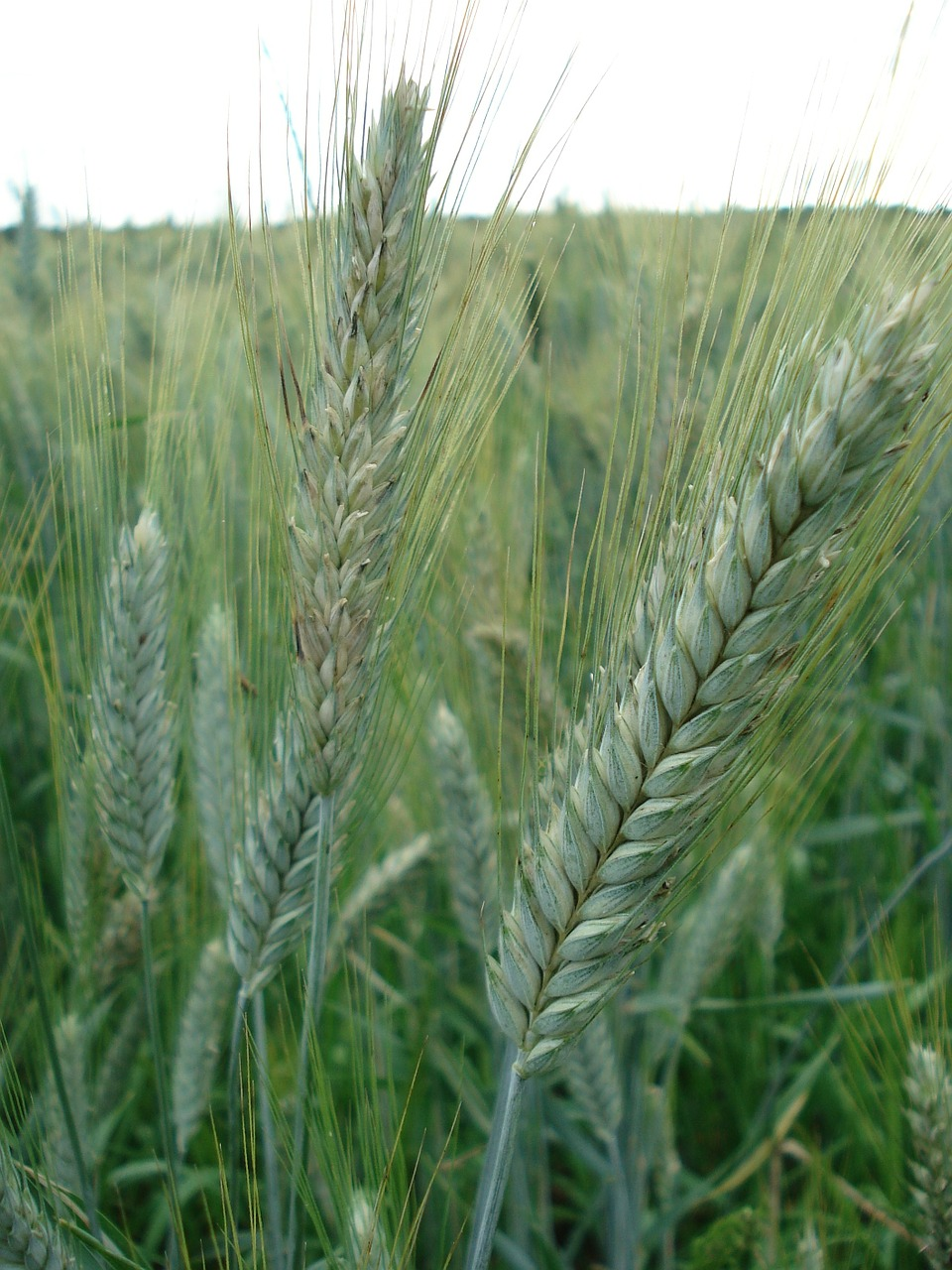 cereals rye wheat free photo