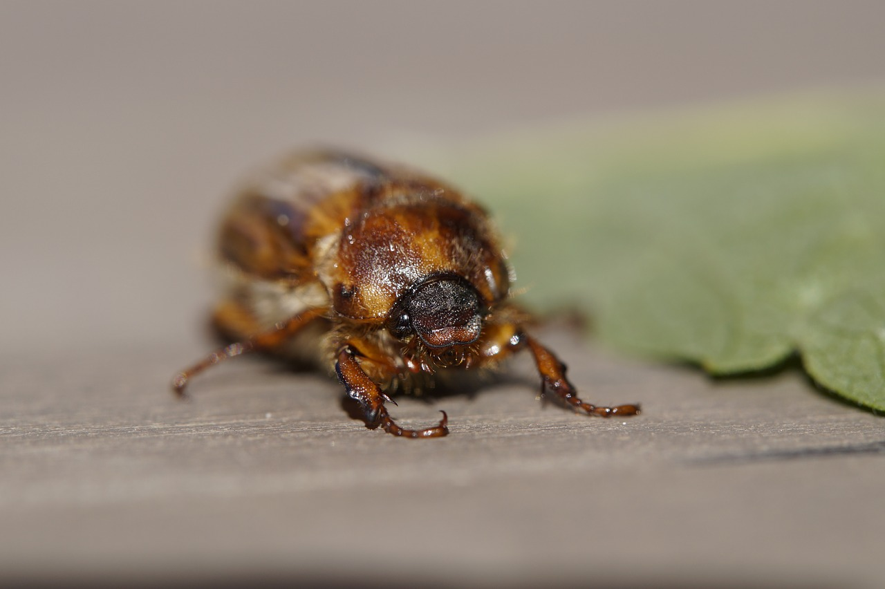chafer crawl june free picture