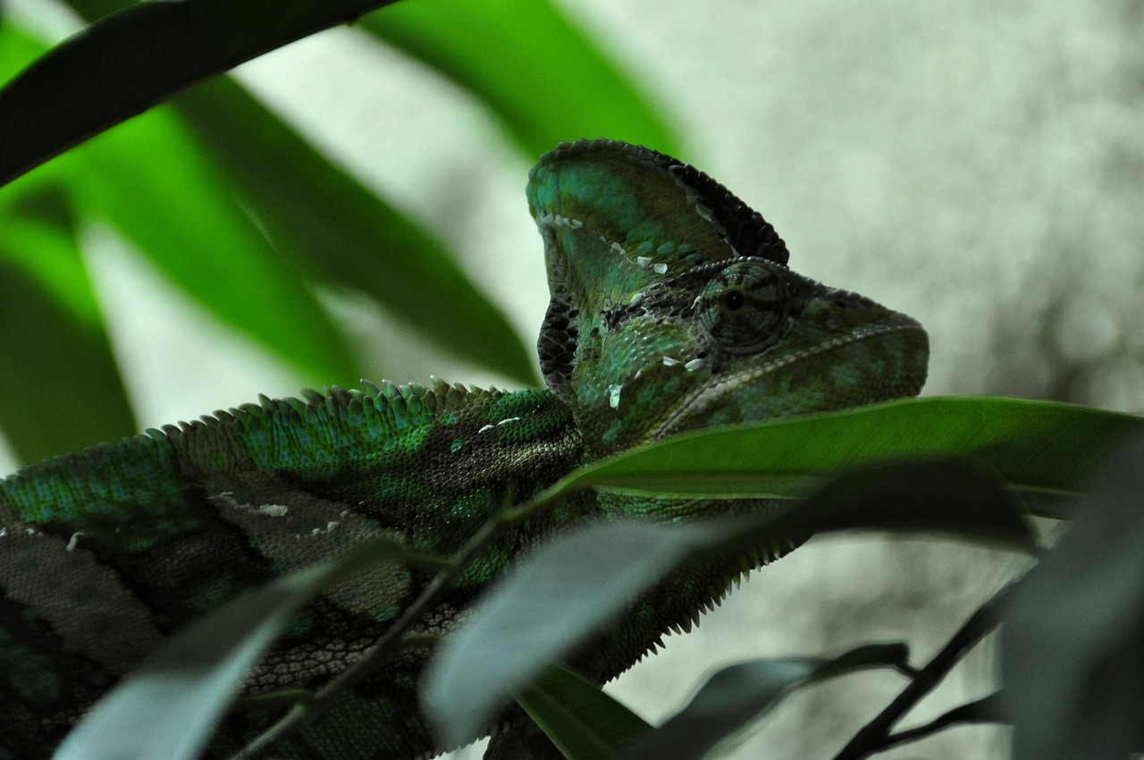 chameleon reptile animal free photo