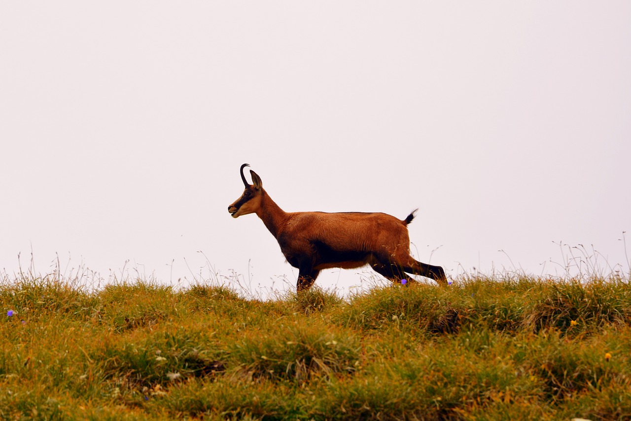 chamois mountain prato free photo
