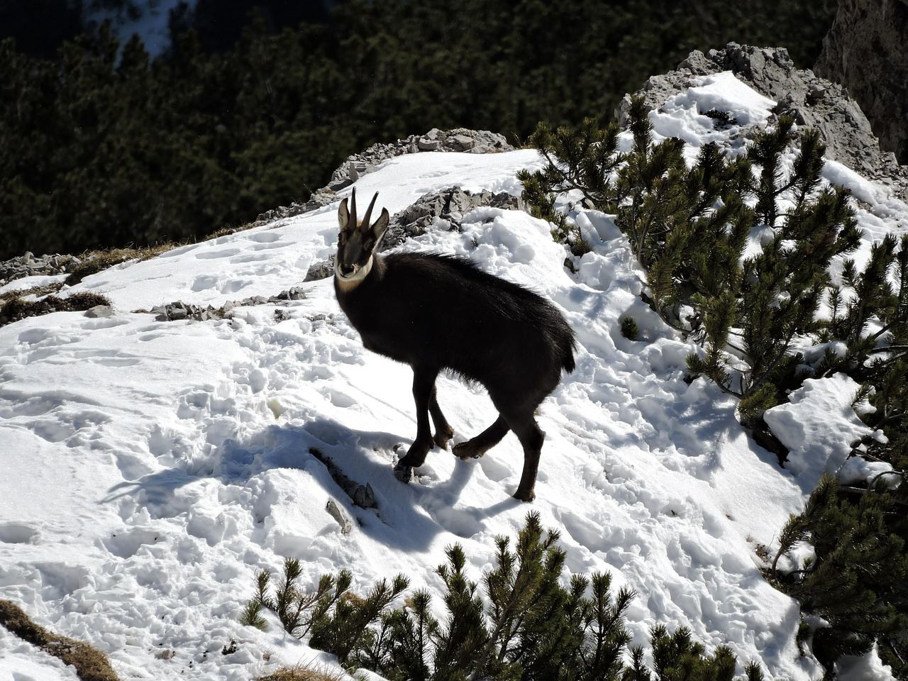 chamois snow animal free photo