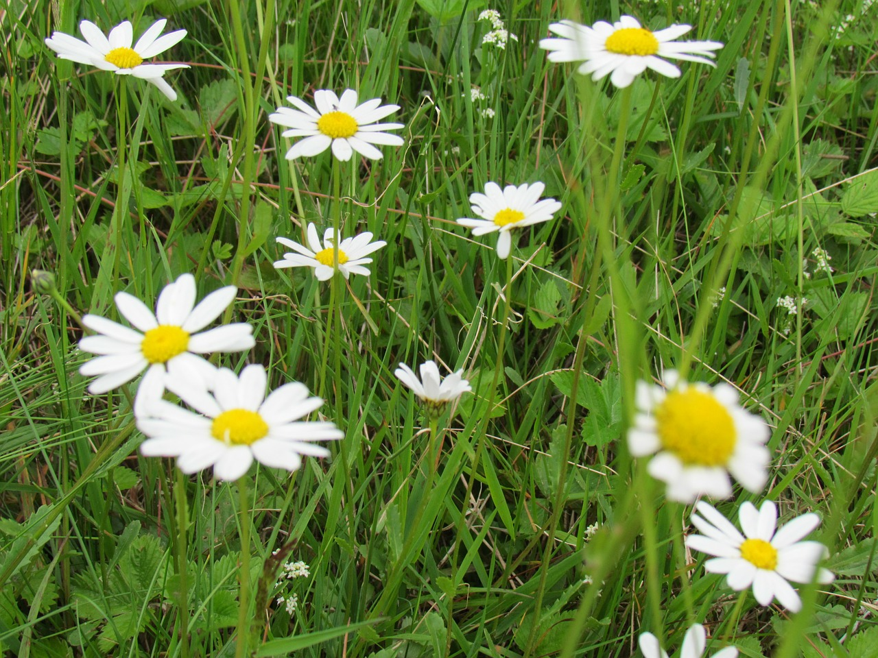 chamomile grass genuine chamomile free photo