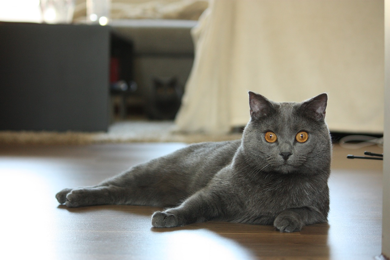 chartreux cat animals free photo