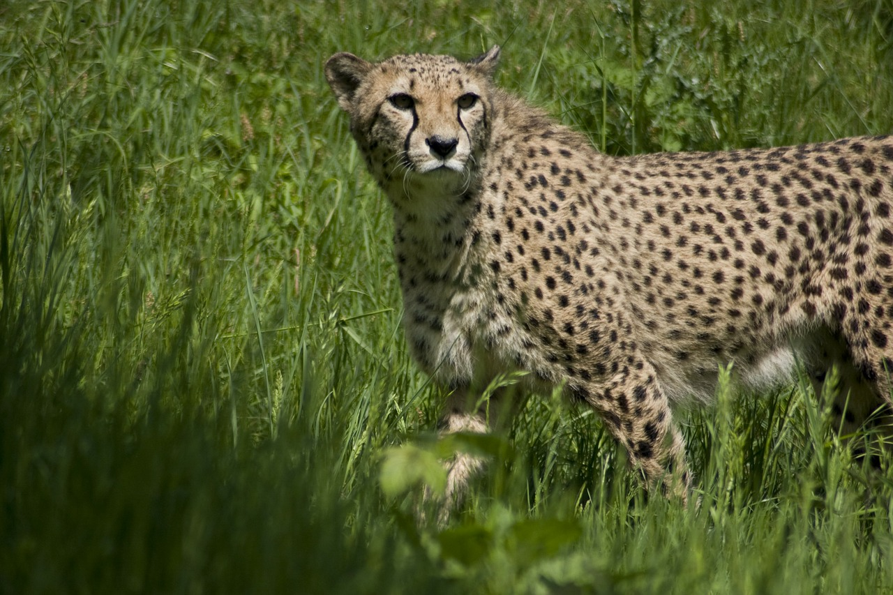 cheetah predator cat free photo