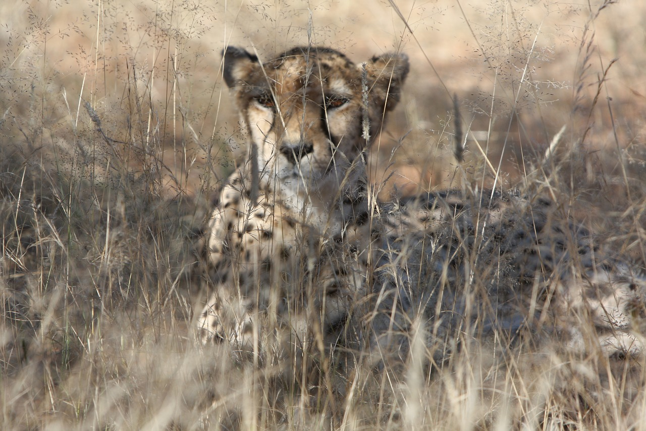 cheetah namibia wild free photo