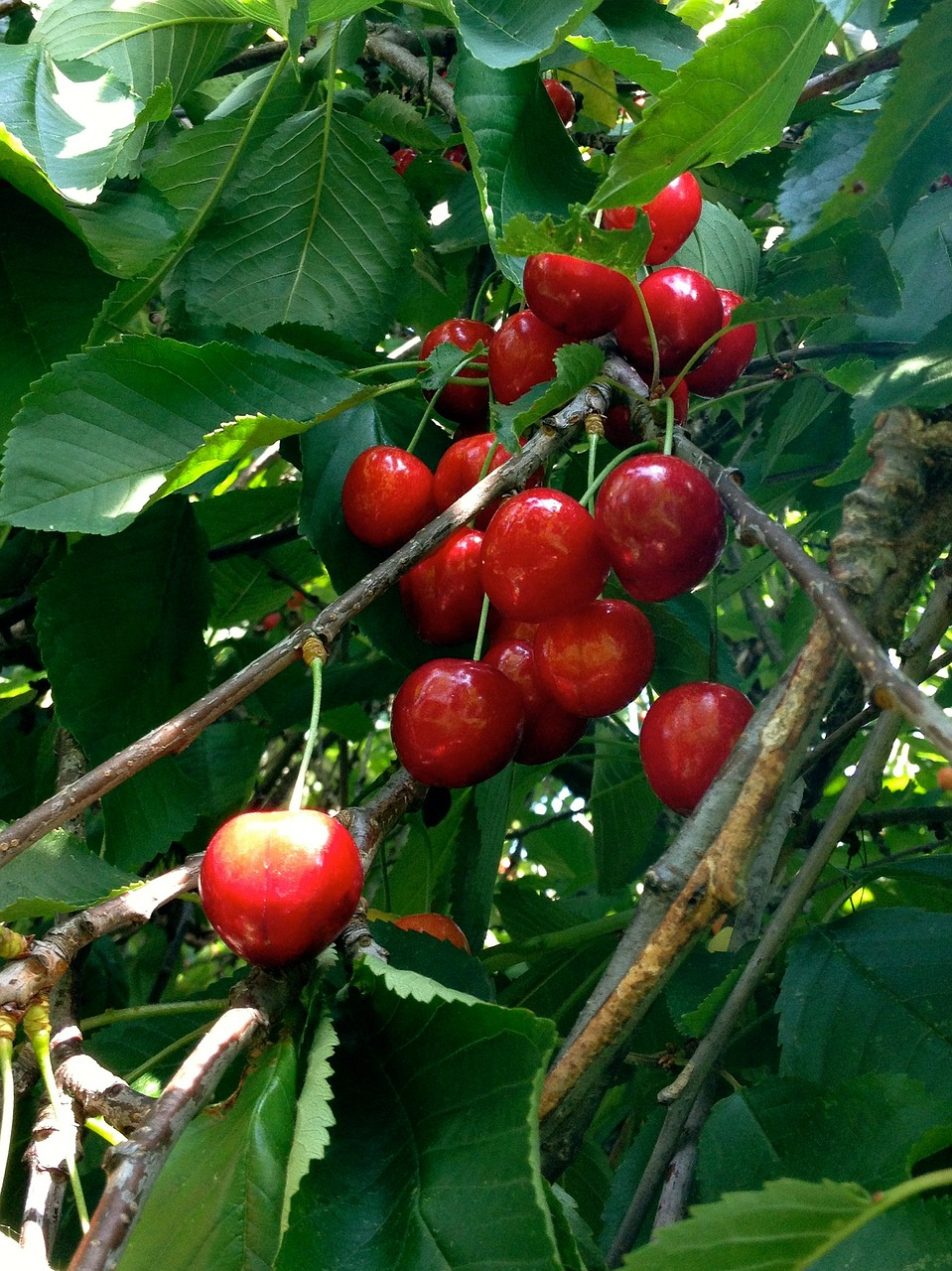 cherries cherry red free photo