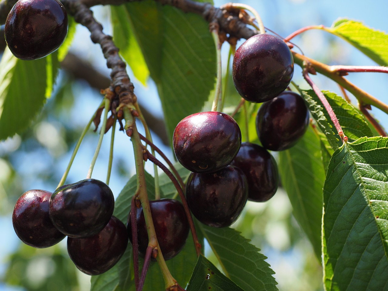 cherries purple black free photo