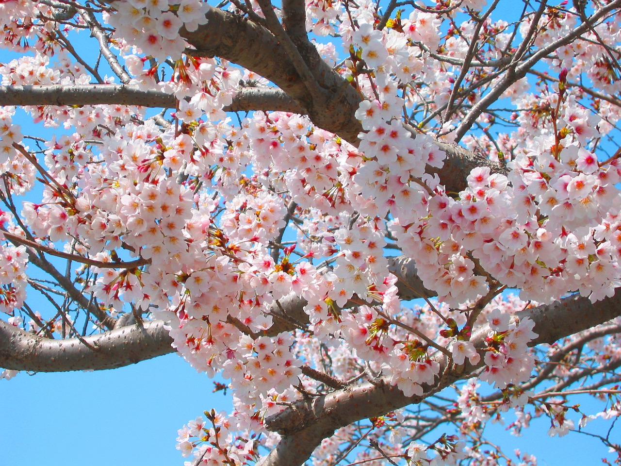 cherry cherry blossoms spring free photo