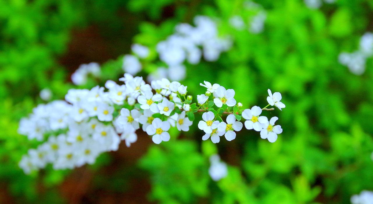 Cherryspringflowersjapanwood free photo from needpix cherryspringflowersjapanwoodin full bloomcute mightylinksfo