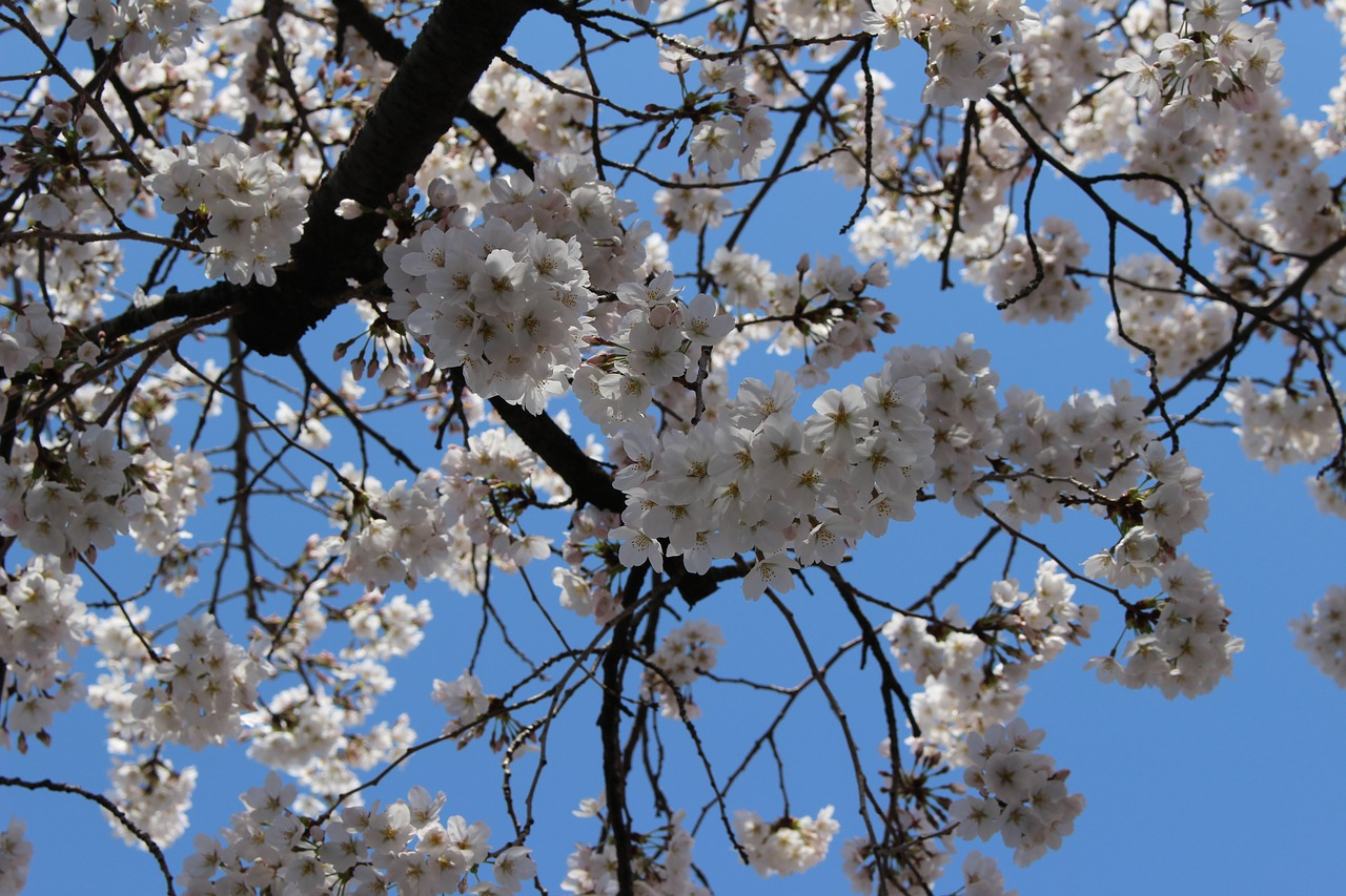Cherrywoodbranchflowersseasonal Free Photo From Needpix