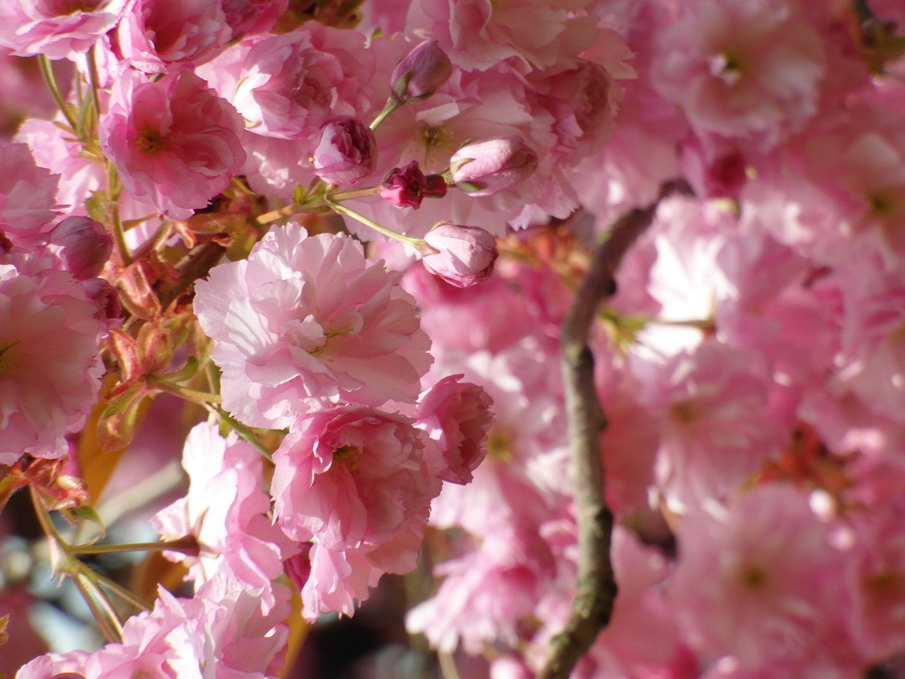 cherry blossom red spring free photo