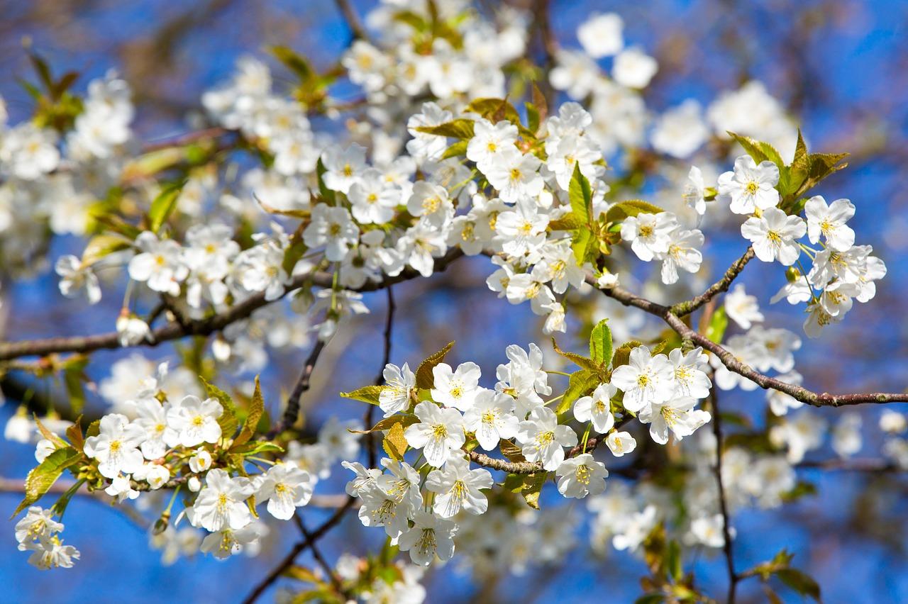 Cherry Blossomspringblossombloomwhite Free Photo From Needpix