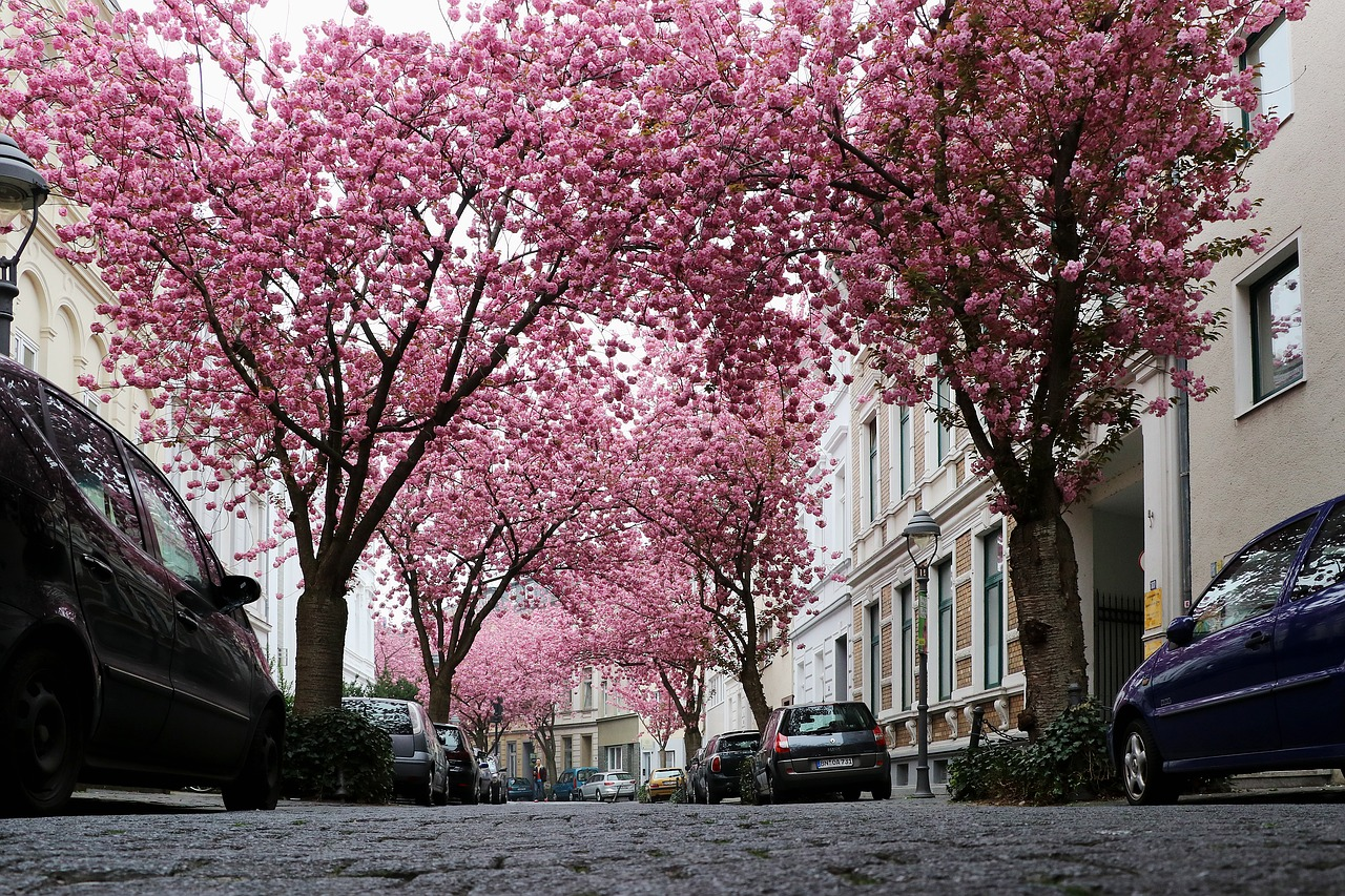 Download free photo of Cherry blossom,bonn,pink,spring,blossom - from needpix.com