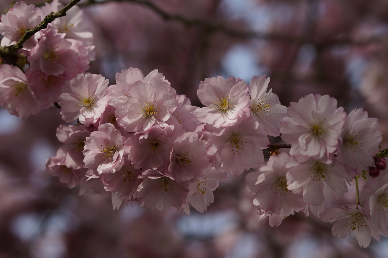 cherry blossom,blossom,bloom,spring,blossom,close,pink,tender,ornamental cherry,flowers,flowering twig,blütenmeer,bloom,tree,spring awakening,inflorescence,free pictures, free photos, free images, royalty free, free illustrations, public domain
