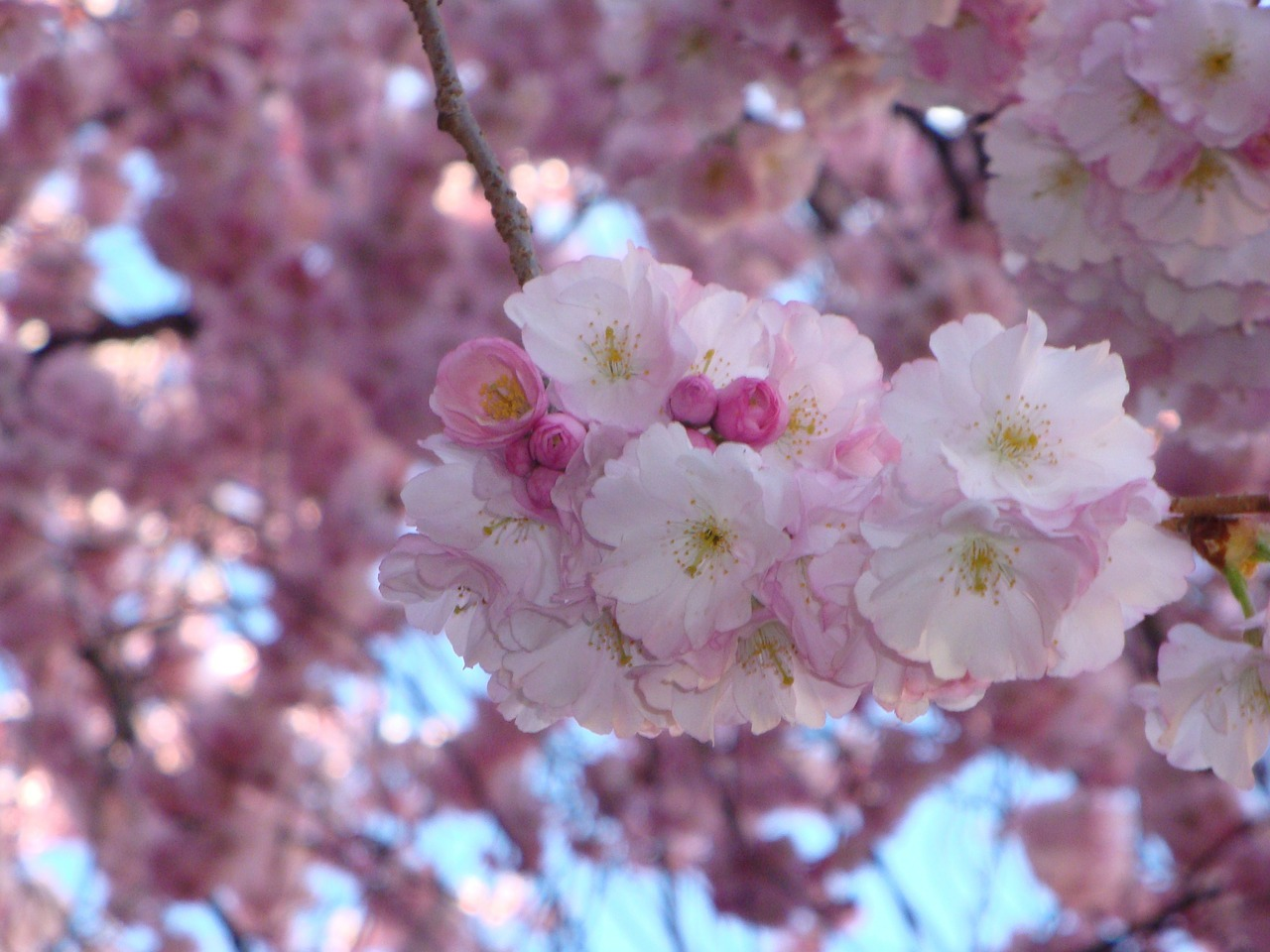 cherry blossom,pink,blossom,spring,flowers,free pictures, free photos, free images, royalty free, free illustrations