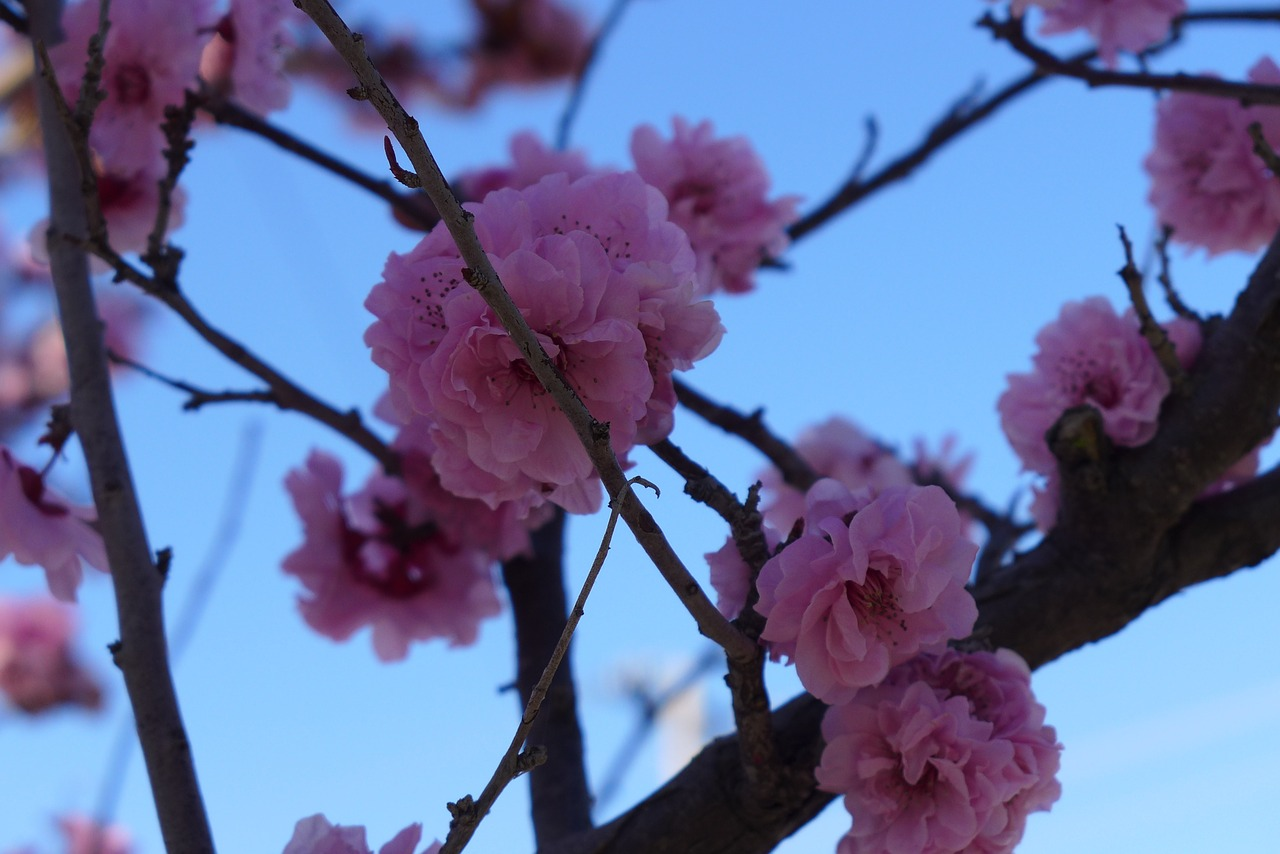 cherry blossom tree spring free photo