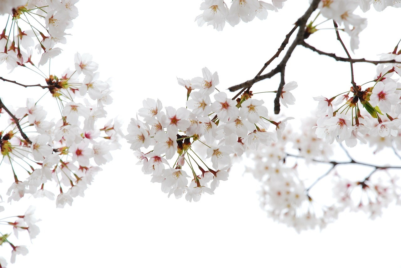 cherry flowers,flower horn,affix,free pictures, free photos, free images, royalty free, free illustrations, public domain