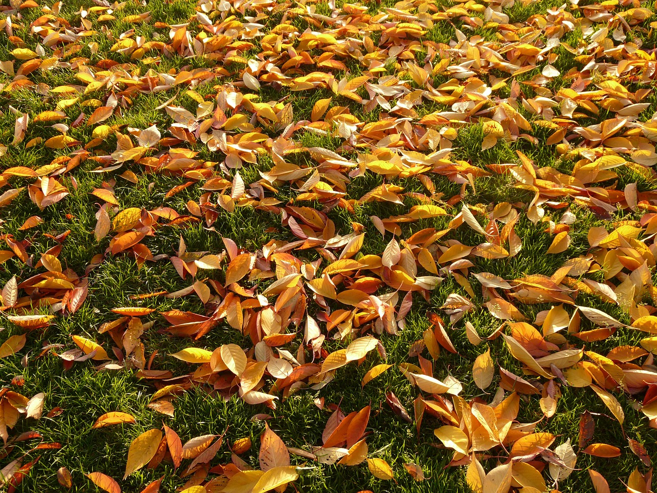 cherry sheets leaves autumn free photo