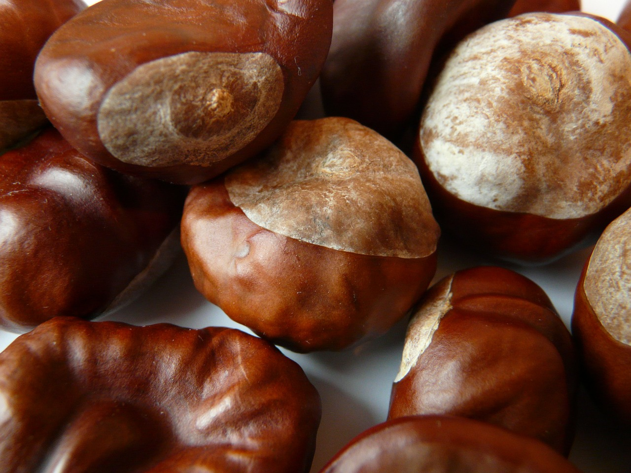 chestnut nut brown free photo