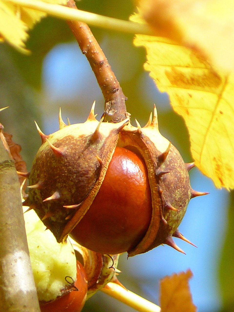 chestnut chestnut fruit fruit free photo