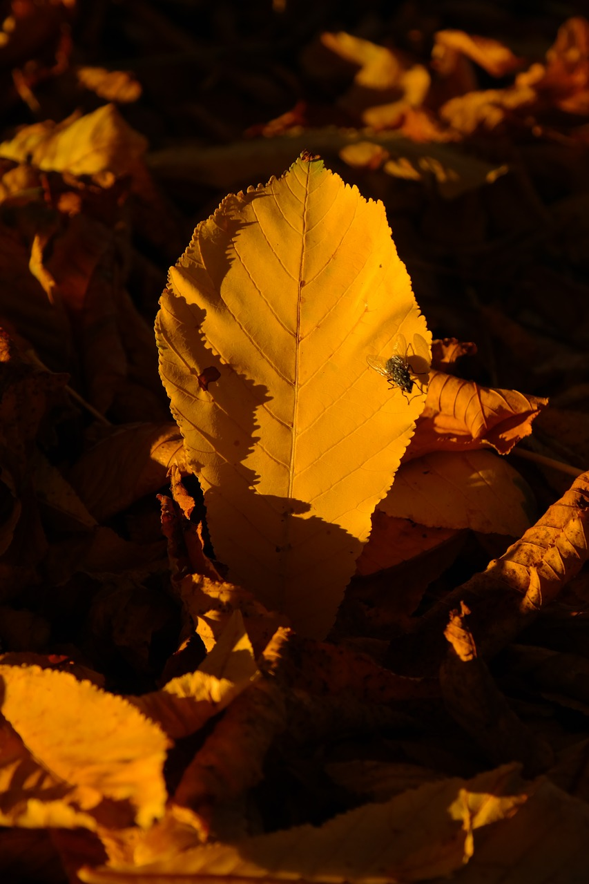 chestnut leaf chestnut leaves fall leaves free photo