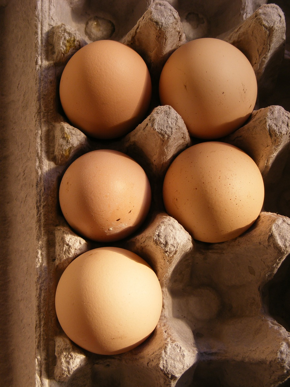 chicken domesticus eggs free photo