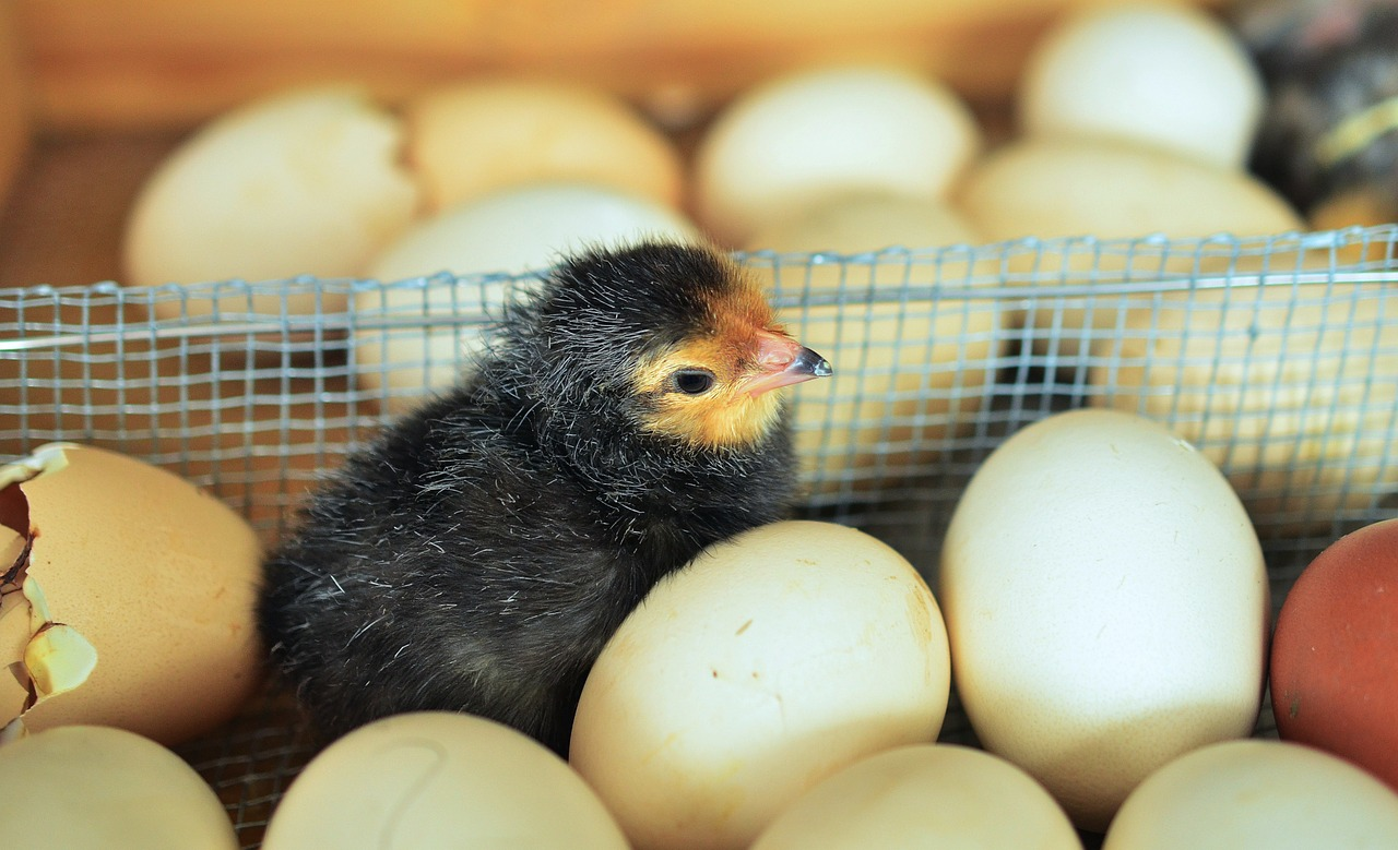 chicks egg hatched free photo