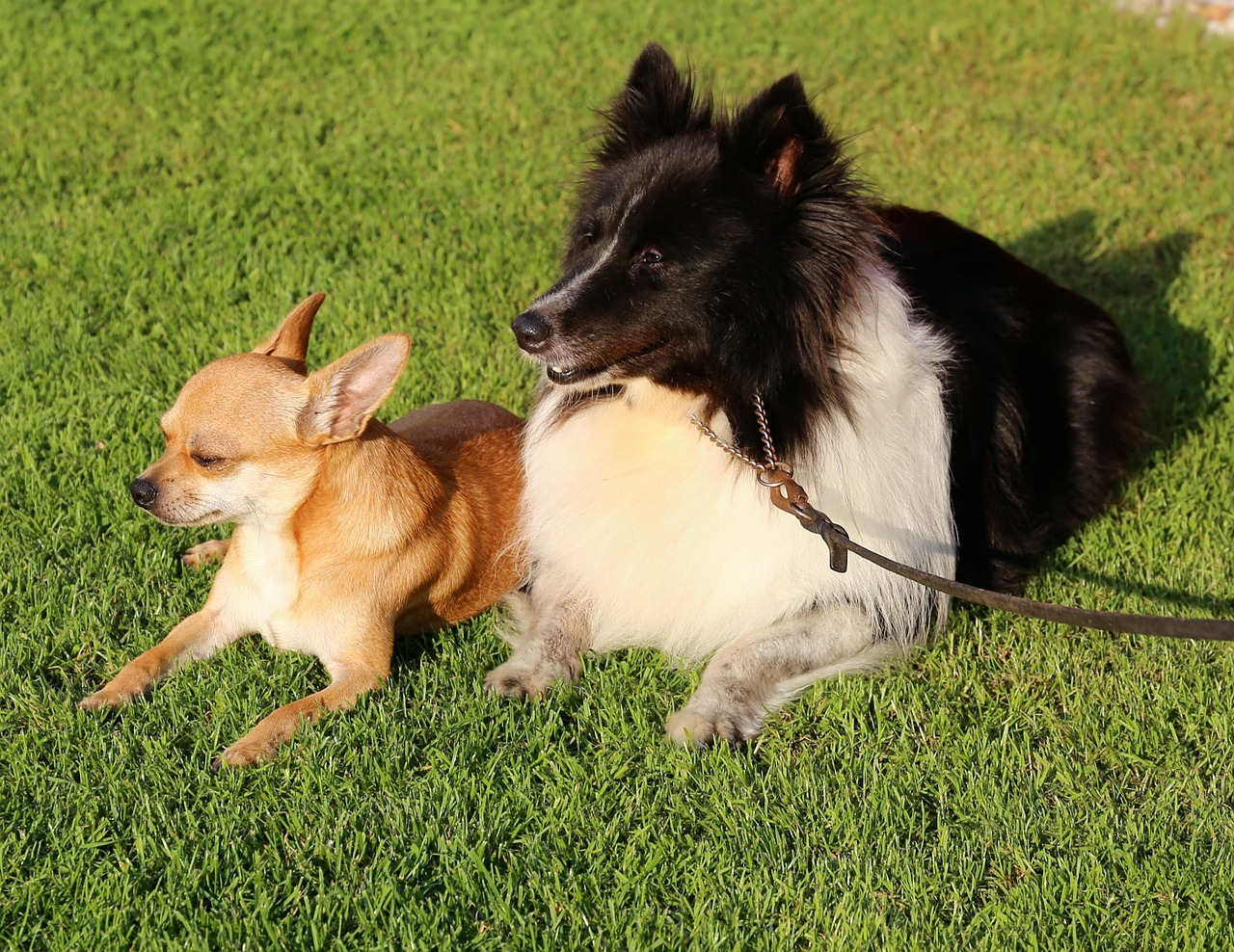 chihuahua dog shetland sheepdog free photo