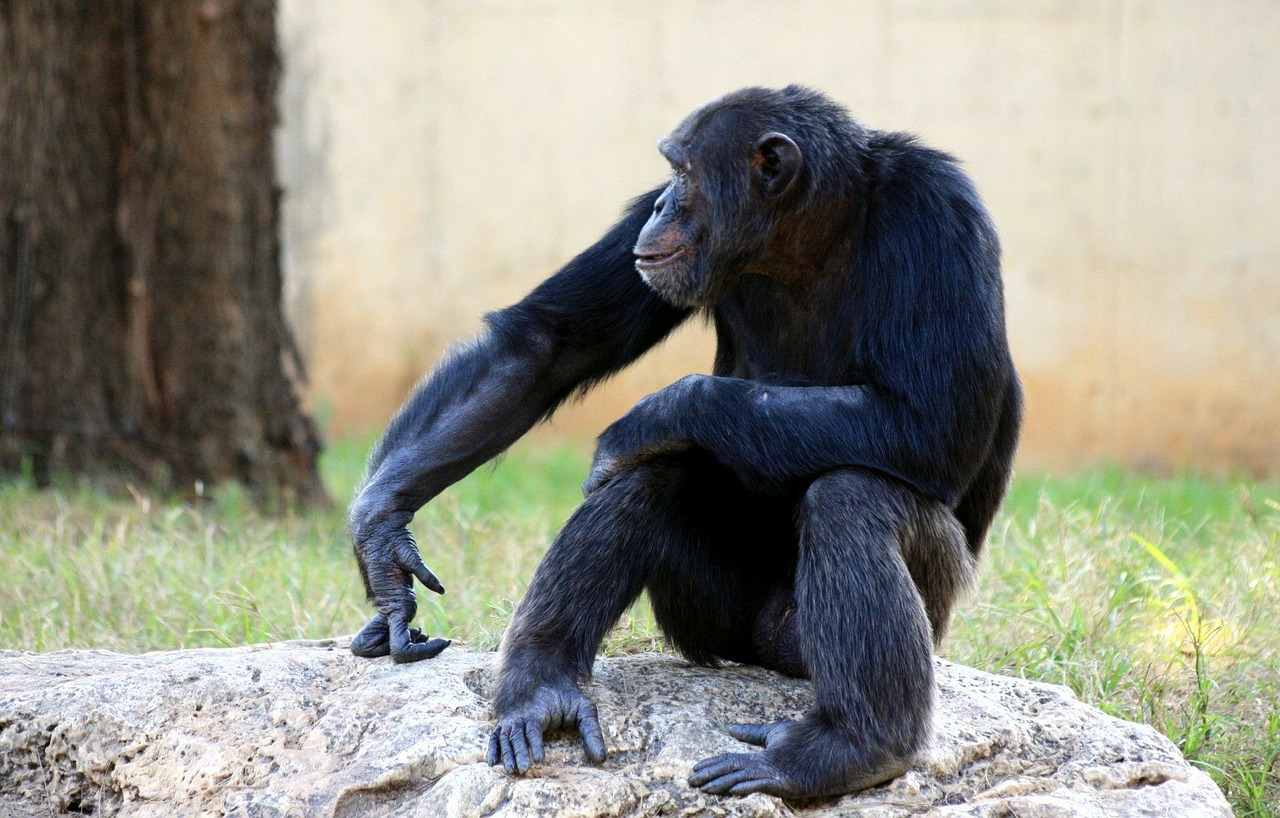 chimpanzee monkey apes free photo